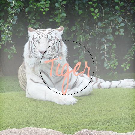 Tiger kolekce